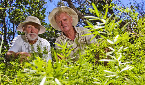 Lee Andresen (left) and Neil Denison with a big job ahead them as Ballina Coastcare attempts to control the noxious weed ground asparagus.