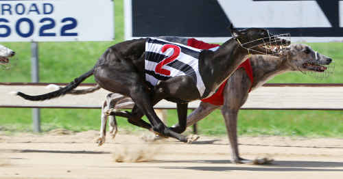 A great burst of speed down the straight gets Astral Blitz (2) over the top of Peppermint Pete in the final of the Q Dog 5th grade sprint.