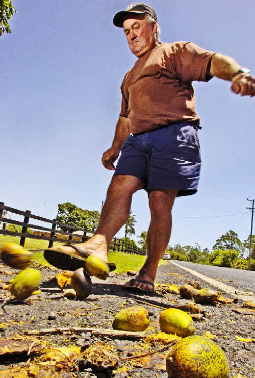 Alf Livotto, of Richmond Hill, kicks clear his driveway of excess mangoes after a bumper mango season many people are finding hard to forget.