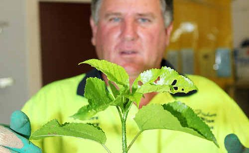 Gardener Neil Fisher with the Shiny-Leaved Stinging Tree or Gympie Gympie that is covered in poisonous hairs.