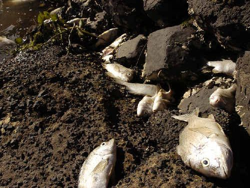A recent Richmond River fish kill.