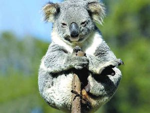 Logging threatens koala population