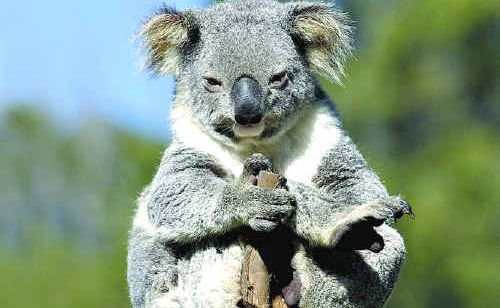 The future of our local koala population is under threat.