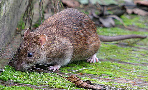 Mice and rats are invading Fraser Coast homes and businesses, possibly in search of water.