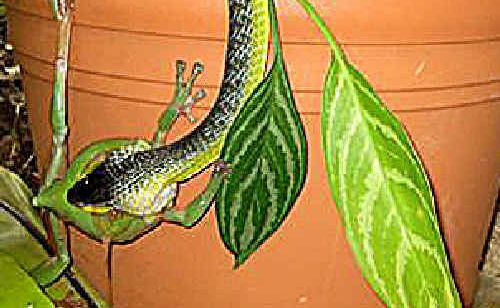 QUITE A BITE: This green snake thought it had its dinner taken care of when it grabbed hold of this green frog.