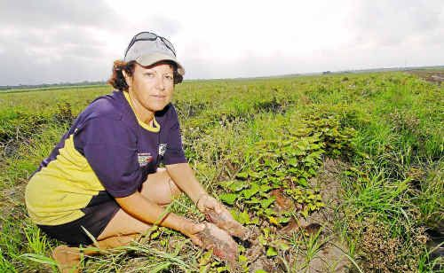 Josie Mizzi examines rows of rain-affected sweet potatoes that can't be harvested at their farm in Moore Park.