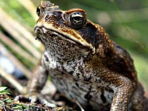Why one cane toad could ruin Australia Day