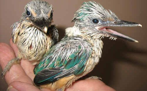 In about two weeks the sacred kingfisher chicks had grown feathers and were ready to fly free.