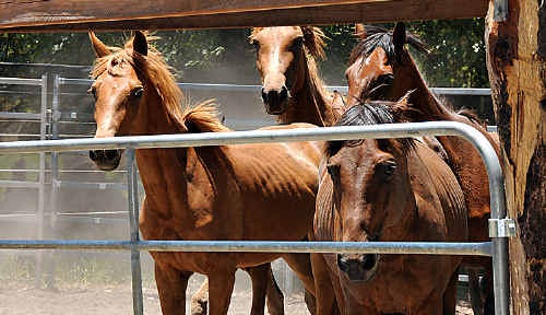 BRUMBY savers Terry Wilson and Anne Warnbrunn have sold all but three brumbies trapped in a bid to reduce accidents on roads fronting state forest.