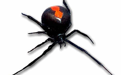 Redback spiders ramp up activity in Rockhampton