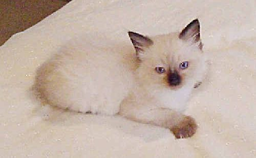 The ragdoll kitten which is offered as first prize in a raffle run by the Antigua Hall committee.