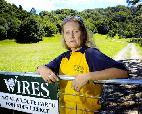 WIRES carer and cattle farmer Katy Stewart, of The Pocket, is concerned that native wildlife populations are being decimated by packs of feral dogs freely roaming the area.