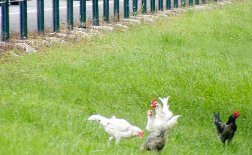 A Ballina resident is trying her best to get someone to help the poultry dumped at the roadside rest area at Wardell.