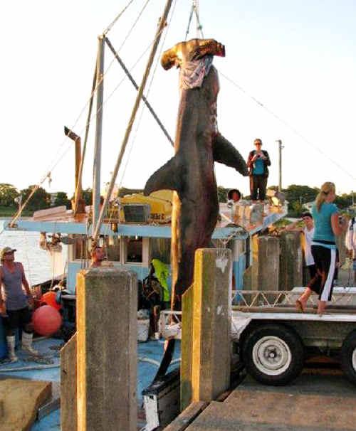 The hammerhead shark caught off the coast of Evans Head.