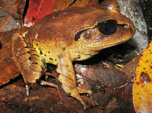 The great barred frog is often confused with the cane toad.