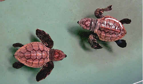 Baby loggerhead turtles washed ashore at South Golden Beach.