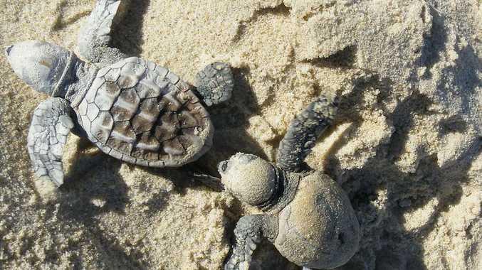 Endangered loggerhead turtles nest on The Discovery Coast beaches each year.