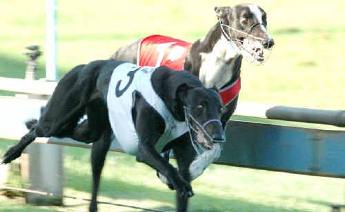 Speedy Malaika (No3) nudges out Mudgee Man to win in 23.09 seconds.