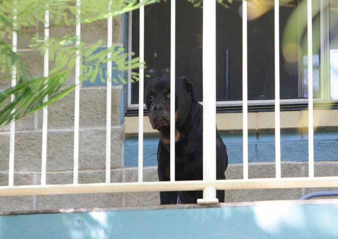 The Rottweiler which attacked a boy, 2, at Nambour.