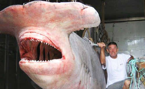 BIG GAME: Claude Williamson and the hammerhead shark caught by Evans Head based vessel Santrina.