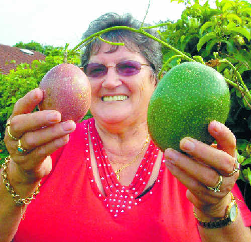 Gloria O'Neill shows off the giant passionfruit growing on a vine in her backyard garden at Wollongbar. The fruit, weighing around half a kilogram at present, is pictured with an average-sized passionfruit.