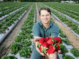 Business steps up for berry farmers