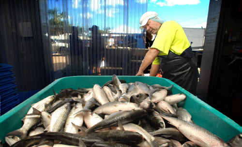 Production supervisor at the Clarence River Fishermen's Co-op Garry Fuller.