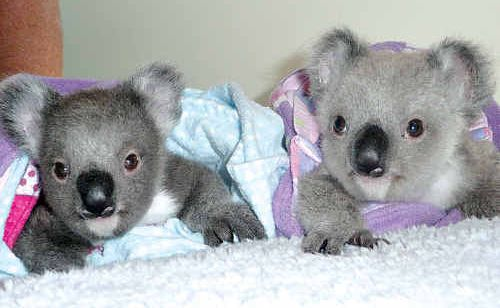 Australia Zoo Wildlife Hospital welcomes all koala patients.