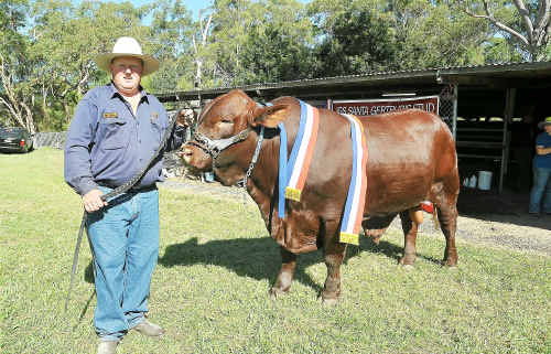 Santa Gertrudis bull 'Biddles', with owner Jack Silveright, was only 29 months old when placed first in his class at the 2009 Coffs Harbour Show.