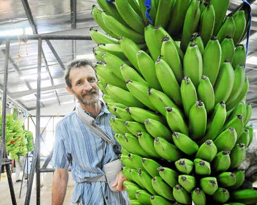 Big fellas: Banana grower David Pike with his 71.5kg bunch of CX3640 bananas that won the Heaviest Bunch award.