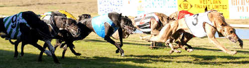 Seventh win: Hayden's Run takes out the Rapidvite Blue Paws Final (484m) at Queen Elizabeth Park last Friday.