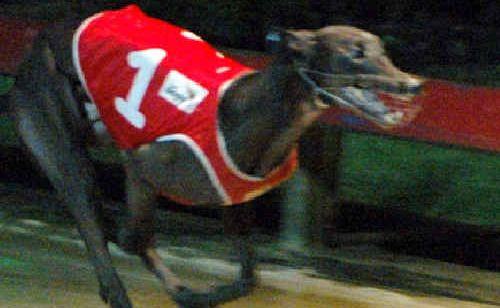 Addsun takes out the Ballina Seagulls RLFC Stake at Lismore greyhounds on Tuesday night.