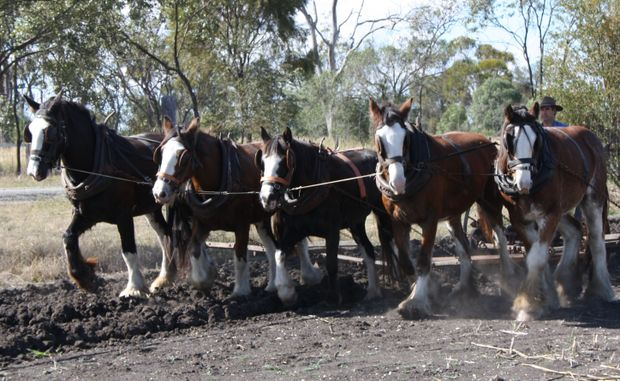Clydesdale horses will be the star attraction at the 2010 Jondaryan Woolshed Working Draught Horse Expo.