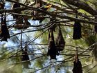 Pregnant flying foxes have caused a dispersal program to be suspended.