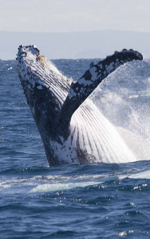 Humpback whales are streaming along the South-East Queensland coast like never before.