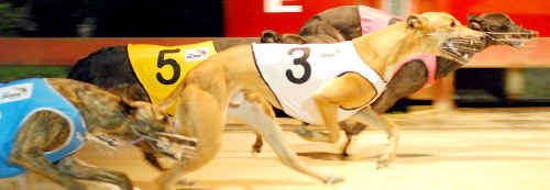 TIGHT FINISH: Tap An Rack rails through to beat Four Winds (3), Quarter Time (5) and Halie Rose Hi (5) at the Lismore greyhounds on Tuesday night. LISA VANDERSTOK