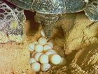 Many turtles nest at Mon Repos