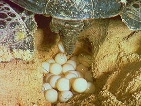 Fox menace targeted around Mon Repos turtle nesting site