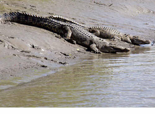 Crocs sunning themselves on the banks of the Proserpine River.