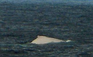 Migaloo, is that you? This photo, taken off the northern end of Fraser Island on Sunday, is believed to show the famous albino humpback Migaloo.