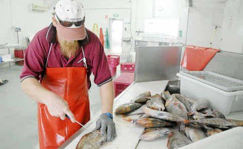 Gladstone Fish Market's Reg Humphris filleting a red throat sweetlip.