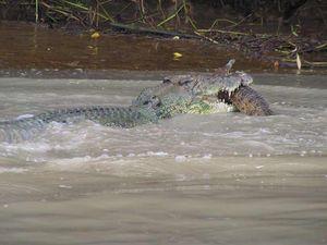Croc snacks on freshwater relative