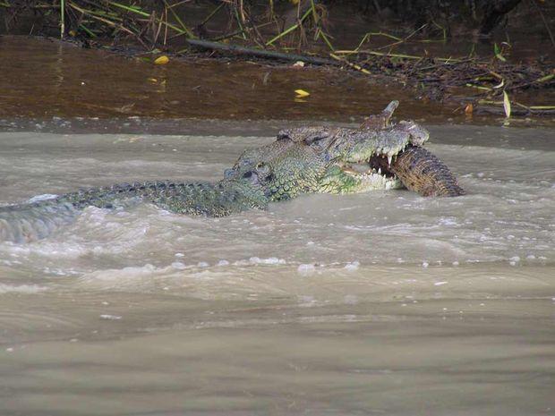 Adam Bowman, of Wallaroo Tours (www.litchfielddaytours.com), captured a 4-metre saltwater crocodile eating a freshwater crocodile in the Adelaide River, 70km southeast of Darwin.