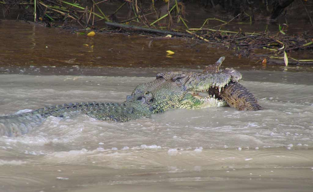 Adam Bowman, of Wallaroo Tours (www.litchfielddaytours.com), captured a 4-metre saltwater crocodile eating a freshwater crocodile in the Adelaide River, 70km southeast of Darwin.
