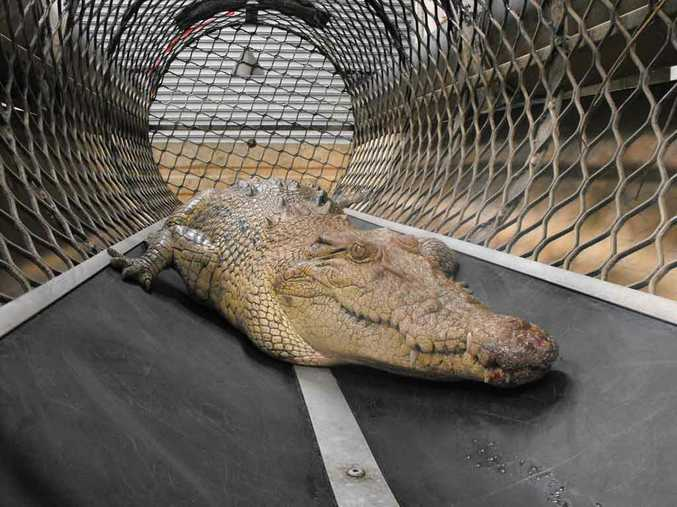 This 2.4-metre crocodile was captured in a floating trap in the inner Cairns suburb of Parramatta Park after scaring a local fisherman when it lunged from a suburban drain.