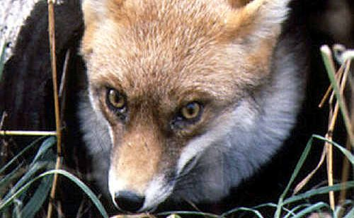 A camera to monitor the habits of foxes at Point Cartwright has been stolen.