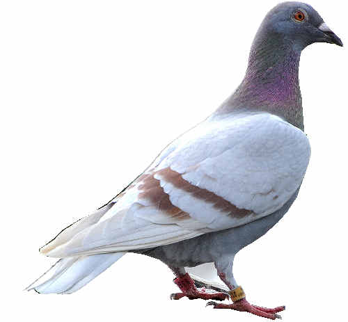A homing pigeon.