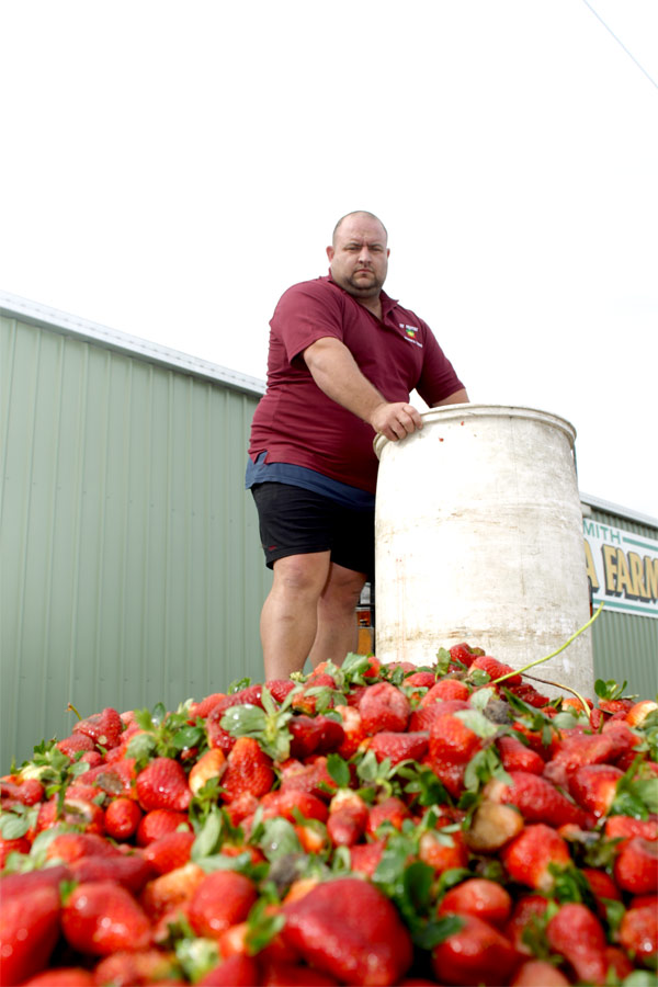 Len Smith of Gowinta Farms, Beerwah, dumps a heap of strawberries damaged from the recent rain.