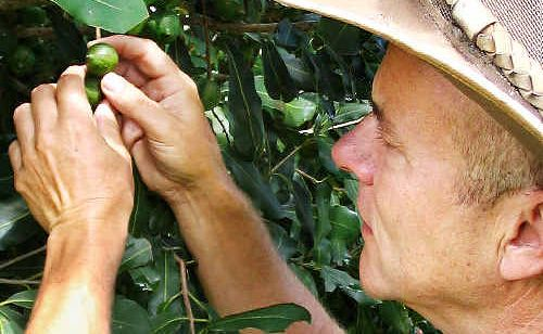 Macadamia consultant Charlie Starrett inspects macadamia trees for the flowering pest lace bug.