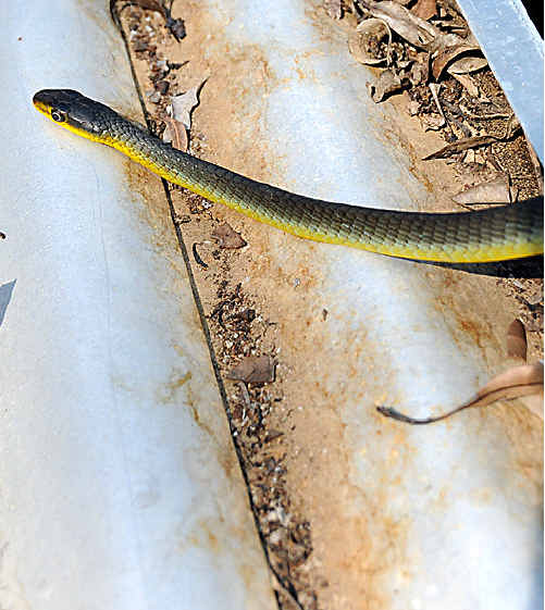 This snake chased Gympie Muster workers out of a tank they were cleaning on the site.